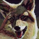 D311 coyote