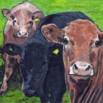 D518 koeien