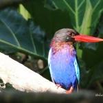 Indonesian Kingfisher