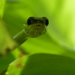 Groene boom slang Bali