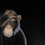Chimpansee Chimpie