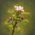 Appelbloesem (2)