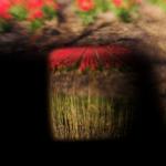 Bollenstreek in bloei