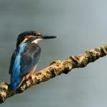 IJsvogel aan de Maas
