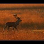 Edelhert bij zonsondergang