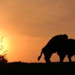 Galoway runderen