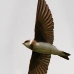 Zwaluw (oeverzwaluw)