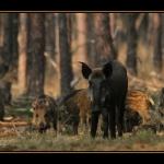 Wild zwijn