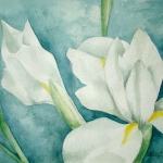 witte iris