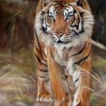 Sumatraanse tijger