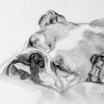 engelse bulldog
