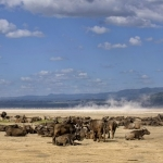 buffels in lake nakuru