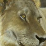 jonge mannetjes leeuw