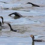Aalscholvers jagend