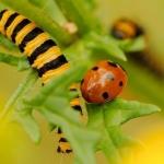 Zeven-stippelig lieveheersbeestje
