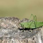 Grote Groene Sabelsprinkhaan vrouw