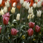 Tulpen