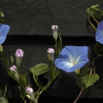Ipomoea
