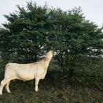 Charolais koe op Hilversumse heide