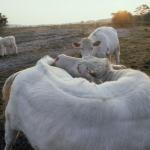 Charolais koeien op Hilversumse heide
