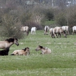paardenlandschap koniks