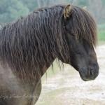 Prachtig Konikpaard