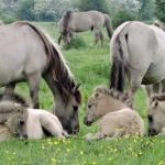 Koniks paarden bij de Blauwe Kamer Wageningen