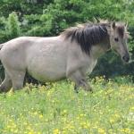 Konik paard bij Blauwe Kamer Wagening