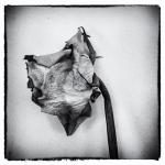 Rose | 2