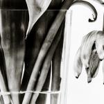 Tulp (4) zwart/wit