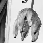 Tulp (3) zwart/wit