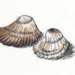 schelp 2