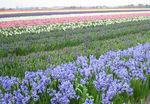 Uiteraard toon ik ook wat digi-foto`s van de Bollnestreek, een kleurrijke streek vooral in het voorjaar.