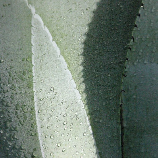 agaves 3