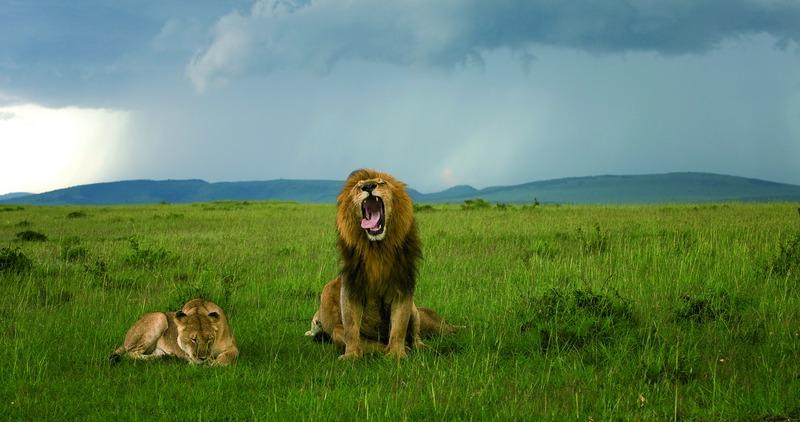leeuwen in masai mara