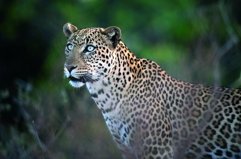 portret van een luipaard