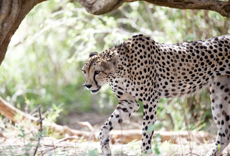 cheetah op jacht