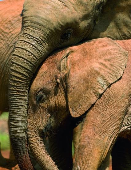 liefde tussen olifanten
