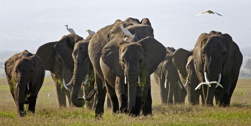 olfanten in Amboseli