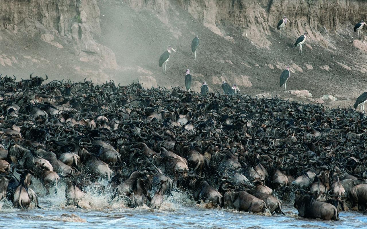 crossing Mara River 2