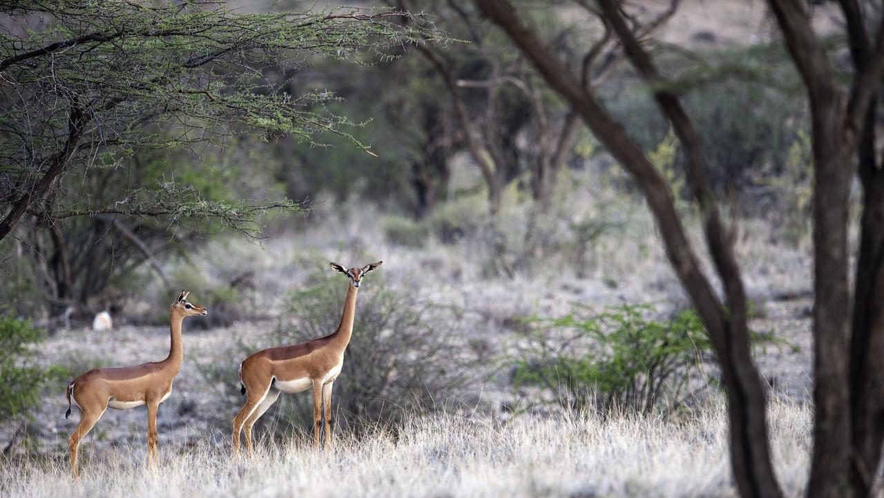 gerenuks in Samburu