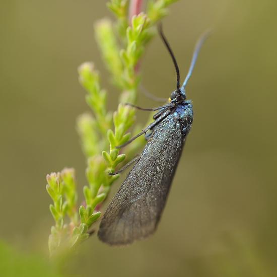 Bruine Metaalvlinder
