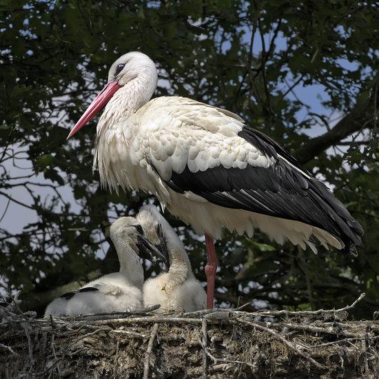 Nest Ooievaars