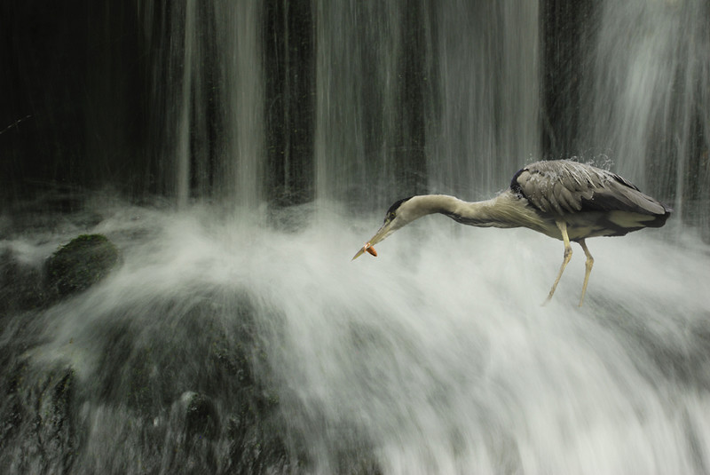 Reiger in waterval