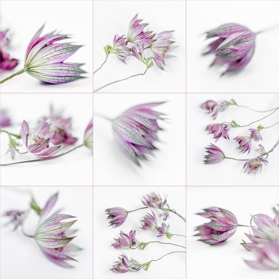 Astrantia Major - 1 (collage)