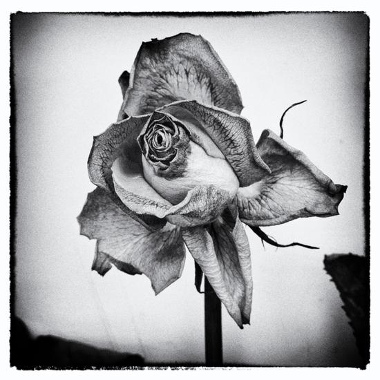 Rose | 1